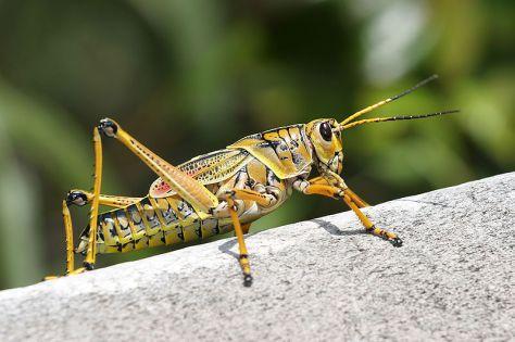 grasshopper7