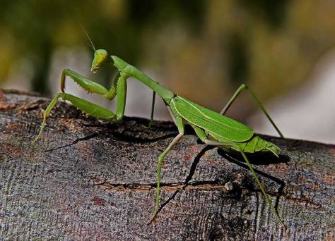 Praying-mantis-copy